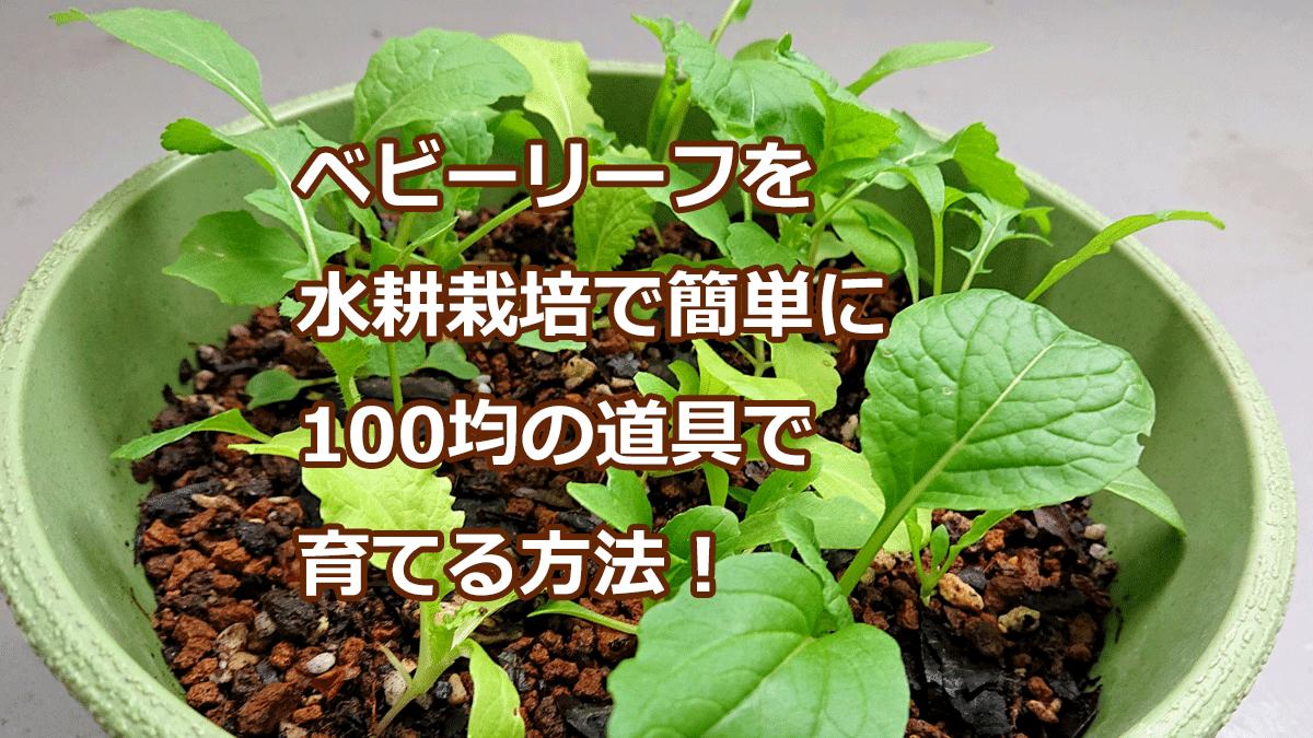 ベビーリーフを水耕栽培で簡単に100均の道具で育てる方法!