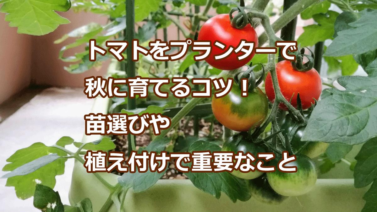 トマトをプランターで秋に育てるコツ!苗選びや植え付けで重要なこと